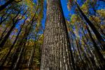 VA, Virginia, Shenandoah National Park, Tuliptree, Liriodendron tulipifera, Tulip Poplar, Tuliptree Forest mm 8 at Low Gap, gap species that rapidly dominates a disturbed site, autumn fall; Tuliptree7040528.cr2