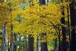 Witch Hazel, Hamamelis virginiana, Shenandoah National Park, Virginia, USA, Appalachian Mountains, Blue Ridge Mountains; fall autumn leaf color