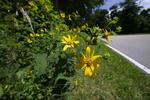 Woodland Sunflower, Helianthus divaricatus, Shenandoah National Park, Virginia, USA, Appalachian Mountains, Blue Ridge Mountains, plants; flower, flowering, bloom, blooming, anthesis; wildflower, angiosperm, wildflowers, wild flower, angiosperms, Shenandoah_FAC744943641.tif