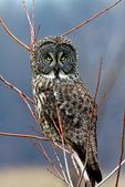 Great Grey Owl, Lapland Owl, Strix nebulosa; Canada, Ontario