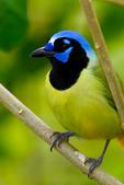 Green Jay, Cyanocorax yncas, Texas, TX, Laguna Atascosa National Wildlife Refuge, JayG154840czsgsv.tif