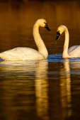 Tundra Swan, Cygnus columbianus, = whistling swan, Chincoteague National Wildlife Refuge, Virginia, Chincoteague, Delmarva Peninsula, Eastern Shore, Chincoteague Island, Chincoteague Is., USA, TundraSwan6059ztsg.tif