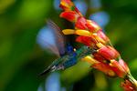 Green-crowned Woodnymph, Thalurania fannyi, hummingbird, Trochilidae; Mirador del Rio Blanco restaurant with bird feeders, San Miguel de los Bancos in Pichincha Province., Ecuador, South America; WoodnymphGC5382xnztes.tif