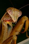 Chinese mantis, Tenodera sinensis, Blue Ridge Parkway, Virginia,  VA, MantisC10906x700.jpg