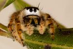 Frowny Face Jumping Spider, Metaphippidus sp., VA Virginia, , Back Bay National Wildlife Refuge, Sandbridge , Virginia Beach; JumpingSpider54359.CR2