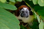 red-naped, Geoffrey's tamarin, Saguinus geoffroyi, Gamboa Rainforest Resort, Rio Chagres, Panama, Central America, TamarinG9037azs.tif