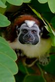 red-naped, Geoffrey's tamarin, Saguinus geoffroyi, Gamboa Rainforest Resort, Rio Chagres, Panama, Central America, TamarinG9037pzs.tif