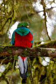 Quetzal, Resplendant Quetzal, Pharomachrus mocinno, trogon, Trogonidae, male, avacodo tree, cloud forest, bird, wet montane forest, Savegre, Savegre Mountain Hotel, Costa Rica, Central America, QuetzalR9268z.tif