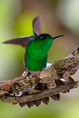 white-tailed emerald, Elvira chionura, is a species of hummingbird in the Trochilidae family. It is found in Costa Rica and Panama. Its natural habitat is subtropical or tropical moist montane forests. With a weight under 3grams, this is one of the smallest birds in existenceSavegre, Savegre Mountain Hotel, San Gerardo de Doto, Cabinas Chacon, Talamanca Mountains, cloud forest, Cerro de La Muerte, Costa Rica, Central America, EmeraldWt5076zxs.jpg