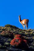 guanaco, Lama guanicoe, is a camelid native to South America that stands between 1 and 1.2 metres (3 ft 3 in and 3 ft 11 in) at the shoulder[2] and weighs about 90 kg (200 lb). The colour varies very little (unlike the domestic llama), ranging from a light brown to dark cinnamon and shading to white underneath. Guanacos have grey faces and small straight ears. To protect its neck from harm, the guanaco has developed thicker skin on its neck. The name guanaco comes from the South American language Quechua word wanaku (old spelling, huanaco).[3] Young guanacos are called chulengo(s). Guanacos are often found at high altitudes, up to 13,000 feet above sea level, except in Patagonia, where the southerly latitude means ice covers the vegetation at these altitudes. To survive the low oxygen levels found at these high altitudes the blood is rich in red blood cells. A teaspoon of guanaco blood contains about 68 billion red blood cells, ~four times that of a human.Torres del Paine National Park (Spanish: Parque Nacional Torres del Paine) is a national park encompassing mountains, glaciers, lakes, and rivers in southern Chilean Patagonia. The Cordillera del Paine is the centerpiece of the park. It lies in a transition area between the Magellanic subpolar forests and the Patagonian Steppes. Torres del Paine National Park is part of the Sistema Nacional de Áreas Silvestres Protegidas del Estado de Chile (National System of Protected Forested Areas of Chile). In 2006, it measured approximately 242,242 hectares. It is one of the largest and most visited parks in Chile. The Torres del Paine are the distinctive three granite peaks of the Paine mountain range or Paine Massif. They extend 2,850 meters above sea level, and are joined by the Cuernos del Paine. .  Chile, Patagonia, South America, Guacano3343rzs.tif