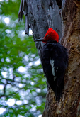 Magellanic woodpecker, Campephilus magellanicus, is a very large woodpecker found along the Andes of Chile and southwestern Argentina; it is resident within its range. They are the largest South American woodpeckers and one of the largest woodpeckers in the world. Magellanic woodpeckers inhabit mature Nothofagus and Nothofagus-Austrocedrus forests, where they feed mainly on wood-boring grubs and adult beetles (Coleoptera and Lepidoptera) as well as spiders. Occasionally, other foods may supplement the diet, including sap and fruits as well as small reptiles, bats and the eggs and nestlings of passerines. Almairantazgo Bay, Chile, Patagonia, South America, @fie@