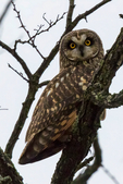 short-eared owl, Asio flammeus, one of the most widely distributed owls in the world, Virginia, Clarke County, OwlSe010704nzsme10.tif
