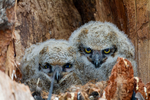 great horned owl, Bubo virginianus; baby babies in nest, immature, hatching year, young, HY; bird, bird of prey; owls, owl;  Ontario, Canada, GHOW7D1954.CR2
