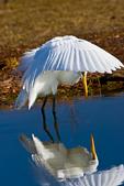 Great Egret, Ardea alba, refleciton in water at Chincoteague National Wildlife Refuge, VA, Bird, preening, hunting, fishing, GreatEgret39F1049zsngzs.tif
