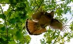 Ruffed Grouse, Bonasa umbellus, Shenandoah National Park, Virginia, USA, Appalachian Mountains, Blue Ridge Mountains, Grouse027374xzs.tif