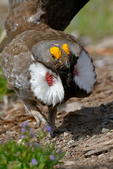 Dusky Grouse, Dendragapus obscurus; blue grouse, interior species; Dunraven Pass, Yellowstone National Park,  Wyoming, United States of America, GrouseD315zs.tif