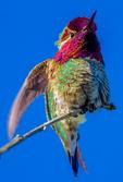 Anna's Hummingbird, Calypte anna, male adult, Channel Islands National Park, California,  USA; HummingbirdAn80323_ARS.CR2