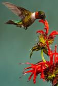 Ruby-throated Hummingbird, Archilochus colubris nectaring on  Bee Balm, Monarda didyma,= bergamot, beebalm, Oswego-tea;Trochilidae; RTHU, eastern North America's sole breeding hummingbirdBlue Ridge Parkway, North Carolina; HummingbirdRt1180.CR2