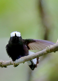 Snowcap Hummingbirds,  Microchera albocoronata, rare Snowcap is a spectacular, tiny hummingbird of Central American cloud forests. = White-crowned Hummingbirds, Panama, Central America, HummingbirdS8525xsx.tif