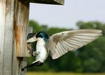 tree swallow, Tachycineta bicolor,  juveniles are brown instead of green/blue; VA,  Orland E. White State Arboretum and Blandy Experimental Farm, University of Virginia, SwallowT6981zx2nsc.tif