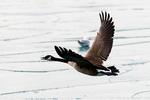 Canada Goose, Branta canadensis, CAGO, familiar, widespread, large waterbird, social, flock, v-formation, Sarnia Harbor, Sarnia, Ontario, Canada, ONT018172.CR2