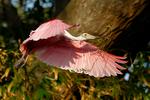 Roseate Spoonbill, Platalea ajaja, Ajaja ajaja; Alligator Farm, St. Augustine, Florida, SpoonbillR1095czxset.jpg