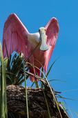 Roseate Spoonbill, Platalea ajaja, Ajaja ajaja; Alligator Farm, St. Augustine, Florida, SpoombillR2169zs.jpg