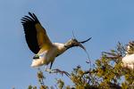 wood stork, Mycteria americana; WOST, Flinthead, Wood Ibis, PondGannet, bald-headed wading bird, monogamous, mate for life;  rare, endangered, endangered species; Alligator Farm, St. Augustine, Florida, Woodstork49062zsHQ85.jpg