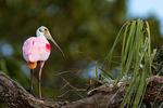 Roseate Spoonbill, Platalea ajaja, Ajaja ajaja; Alligator Farm, St. Augustine, Florida, SpoombillR2559sz.tif