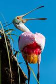 Roseate Spoonbill, Platalea ajaja, Ajaja ajaja; Alligator Farm, St. Augustine, Florida, SpoombillR2102zszz.tif