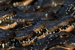 American alligator, Alligator mississipiensis; sink your teeth into it, teeth, power, danger; Alligator Farm, St. Augustine, Florida, Alligator12700szt.jpg