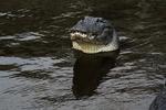 American alligator, Alligator mississipiensis; sink your teeth into it, teeth, power, danger; Alligator Farm, St. Augustine, Florida, Alligator22095.jpg