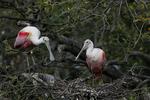 Roseate Spoonbill, Platalea ajaja, Ajaja ajaja; Alligator Farm, St. Augustine, Florida, SpoonbillR22141.jpg
