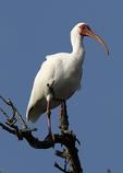 white ibis, Eudocimus albus, Alligator Farm, St. Augustine, Florida, IbisW22499.jpg