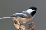 "black-capped chickadee, Poecile atricapilla, BCCH, Parus atricapilla, One of the most familiar birds in northern North America, non-migratory, permanent residents, two to three note song, ""chick-a-dee-dee"",""fee-bee-ee""; Nineveh, Virginia, USA; BCCH019468czs.tif"