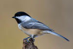 "black-capped chickadee, Poecile atricapilla, BCCH, Parus atricapilla, One of the most familiar birds in northern North America, non-migratory, permanent residents, two to three note song, ""chick-a-dee-dee"",""fee-bee-ee""; Nineveh, Virginia, USA; BCCH010207zs.tif"