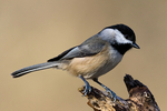 "Carolina Chickadee, Poecile carolinensis;  CACH, southeast, four to six note song, ""chick-a-dee-dee"", ""fee-bee-fee-bay""; Nineveh, Virginia, USA; CACH19820zs.tif"