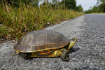 Florida chicken turtle, Deirochelys reticularia chrysea, on road; Florida, Everglades National Park, environment; subtropical,  tropical; TurtleC2015.CR2