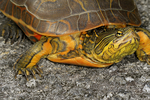 Florida chicken turtle, Deirochelys reticularia chrysea, Florida, Everglades National Park, environment; subtropical,  tropical; TurtleC6491.CR2