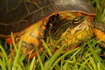 Florida chicken turtle, Deirochelys reticularia chrysea, Florida, Everglades National Park, environment; subtropical,  tropical; TurtleC6523.CR2