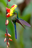 violet-tailed sylph, Aglaiocercus coelestis is a species of hummingbird. It is found in Colombia and Ecuador. This Sylph lives in areas from 300-2,100 metres (980-6,890 ft) in elevation, though typically above 900 metres (3,000 ft) on the west slope of the Andes. Cloud Forest, Humid Montane Forest, Andes Mountains, west slope Andes Mountains, Ecuador, South America; SylphVt45341cxzs.tif
