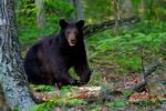 American Black Bear, Ursus americanus, Shenandoah National Park, Virginia;  USA;  Appalachian Mountains, Blue Ridge Mountains, wildlife; BearB5369cznsx.tif