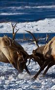 Rocky Mountain Elk, Cervus canadensis nelsoni; male herd; Winter {wintertime}; snow, snowstorm, snowflakes; = Cervus elaphus nelsoni, American Elk; Rocky Mountain National Park, Horseshoe Park, Colorado, USA; Elk9488808_ARS.CR2