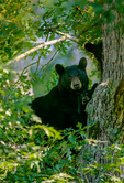 American black bear, Ursus americanus up in a tree; most common, adaptable, versatile, crepuscular; mother and cub, young, baby; Shenandoah National Park, Virginia, Appalachian Mountains, Blue Ridge Mountains, BearBl10054.tif
