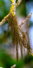Tree Hair Lichen, Bryoria fremontii, lichen, Wawona, Yosemite National Park, Yosemite, California,  USA; TrHaL6B69575.CR2