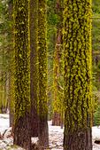 Wolf Lichen, Letharia vulpina on the trees; Crane Flat, Winter, wintertime; snow, snowstorm, snowflakes,Yosemite National Park, Yosemite, California, CA, boreal coniferous forest,  North America; United States of America {America, U.S., United States, US, USA}; Yosemite9480067.CR2