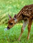 Whitetail Deer, Odocoileus virginianus; smelling a dandelion, Virginia, Shenandoah National Park, Big Meadows, Whitetail Deer. Odocoileus virginianus, animals; wildlife; mammals ; ruminant ruminants; deer, Artiodactyla, Cervidae; fawn, baby, young; DeerWt0001591dnzsg1.tif