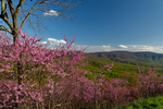 Gooney Manor Overlook, Redbud, Cercis canadensis; looks down into the Shenandoah Valley and Browntown Valley area. In spring time many shades of green reprent the many different species of trees leafing out. Virginia; Shenandoah National Park, Appalachian Mountains, Blue Ridge Mountains, SHEN037272zs.tif