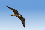 peregrine falcon, Falco peregrinus, powerful, fast flying, Duck Hawk, Great-footed Hawk, Wandering Falcon, wanderer, migratory, high speed, high speeds, cap, high speed dives, moustache; Cape May, New Jersey, NJ, Peregrine15116.CR2