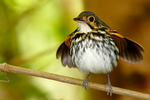 streak-chested antpitta or spectacled antpitta, Hylopezus perspicillatus, is a species in the Grallariidae family. It is found in Colombia, Costa Rica, Ecuador, Honduras, Nicaragua, and Panama. Its natural habitat is subtropical or tropical mature moist lowland forests. Altos de Maria, a high altitude development several thousand feet above El Valle, is an excellent birding area with a water impoundment and nature trails. Panama, Central America, AntpittaSc9081czhs.tif